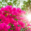 Stock Photo: Bougainvilleflowers