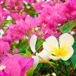 Stock Photo: Bougainvilleflowers and plumer
