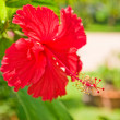 Stock Photo: Chinese Hibiscus (Chinrose)