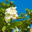 Stock Photo: Flowers white plumer
