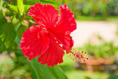 Chinese Hibiscus (China rose) — Stock Photo