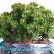 Стоковое фото: Dwarf mountain pine isolated on white