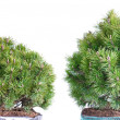 Two dwarf mountain pine — Stock Photo