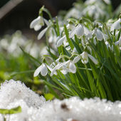 Snowdrop blooming in spring — Stock Photo