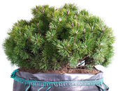 Dwarf mountain pine isolated on a white — 图库照片