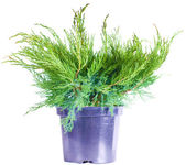 Juniper on a white background — 图库照片
