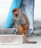 сидя обезьяна — Стоковое фото
