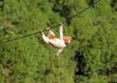 Hanging monkey — Foto Stock