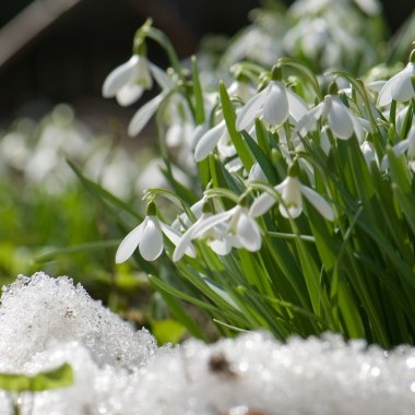 Snowdrop blooming in spring