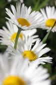 Daisy — Stock fotografie