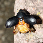 Scarab beatle — Stock Photo