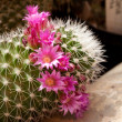 Blossoming cactus - Stock Photo