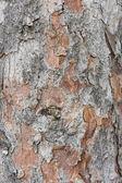 Kora sosnowa — Zdjęcie stockowe