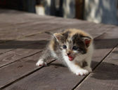 Screaming kitten — Zdjęcie stockowe