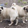 Two pugs - Stock Photo