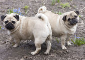 Two pugs — Stock Photo
