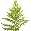 Fern — Stock Photo #3425780