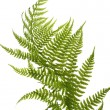 Fern close up - Zdjęcie stockowe