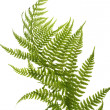 Fern close up - 图库照片