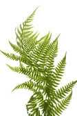 Fern close up — Stock Photo