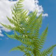 Fern on blue sky — Stock Photo #3457703