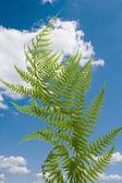 Fern on blue sky — Stock Photo