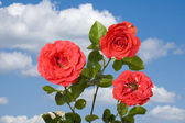Rose on blue sky — Stock Photo