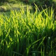 Grass — Stock Photo #3497781