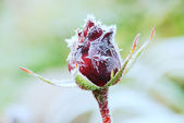 Frosted rose — Stock Photo