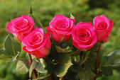 Five scarlet beauty roses — Stock Photo