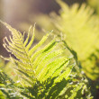 Fresh green fern leaves - Stock Photo