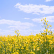 Yellow field with oil seed rape against the blue sky - Stock Photo
