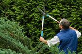 Senior man gardener cut a hedge — Stock Photo