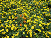 Yellow flowers on flowerbed — Stock Photo