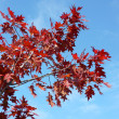 Red maple at autumn — Stock Photo #2733868
