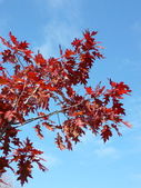 Red maple at autumn — Stock Photo