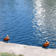 Two roody shelduck on bank — Stock Photo