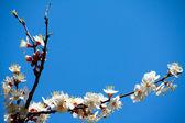Flowering apricot — Stock Photo