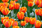 Some tulips — Stock Photo