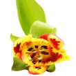 Red, yellow tulip face — Stock Photo #3023245