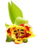 Red, yellow tulip face — Stock Photo
