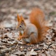 Stock Photo: Closeup of red squirrel posing at the park