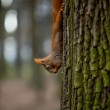 Squirrel eating a nut and hanging from the tree — Stock Photo