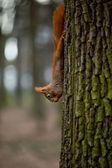 松鼠吃坚果和吊在树 — 图库照片