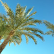Palm trees against the dark blue sky — Stock Photo