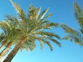 Palm trees against the dark blue sky — Stock Photo