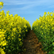 Footpath in the field of yellow colours - Stock Photo