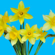 Daffodils — Stock Photo #3304464