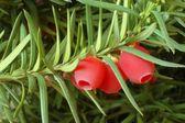 Yew-tree berries — Stock Photo