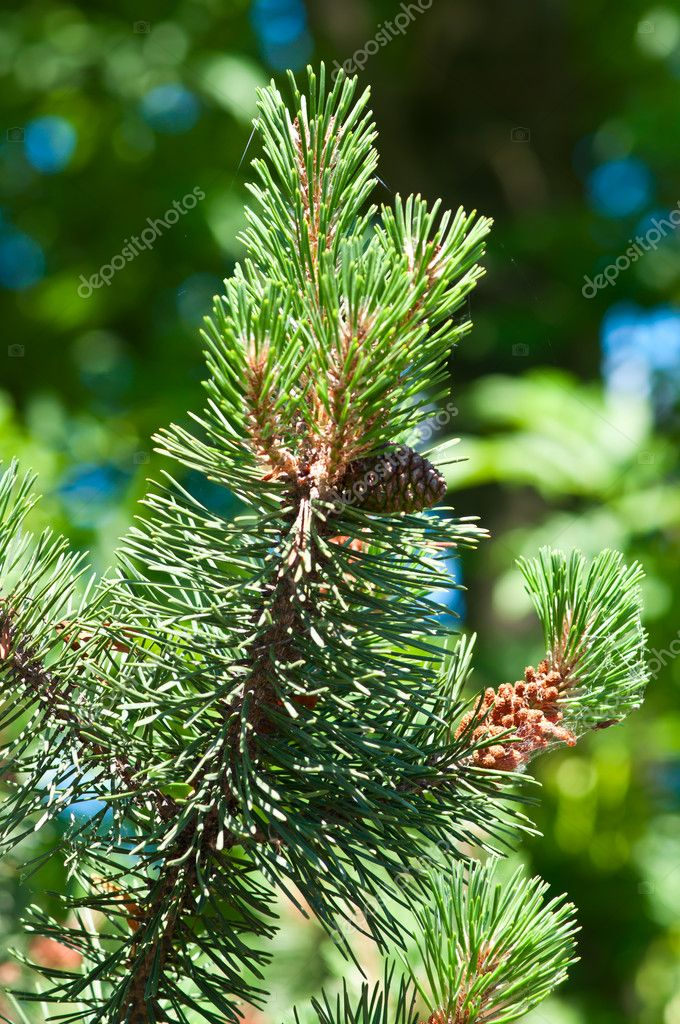 Cones in pine tree branch. Pine wood, national park. — Stock Photo #3628267